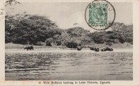 Wild Buffalos bathing in Lake Victoria, Uganda