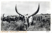 Ankole Long-Horn Cattle, Uganda