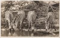 nil (Zebras)