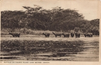 Buffalo on Kigubio Island. Lake George. Uganda