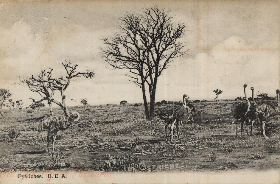 Ostriches, B.E.A.