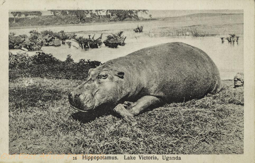 Hippopotamus. Lake Victoria, Uganda