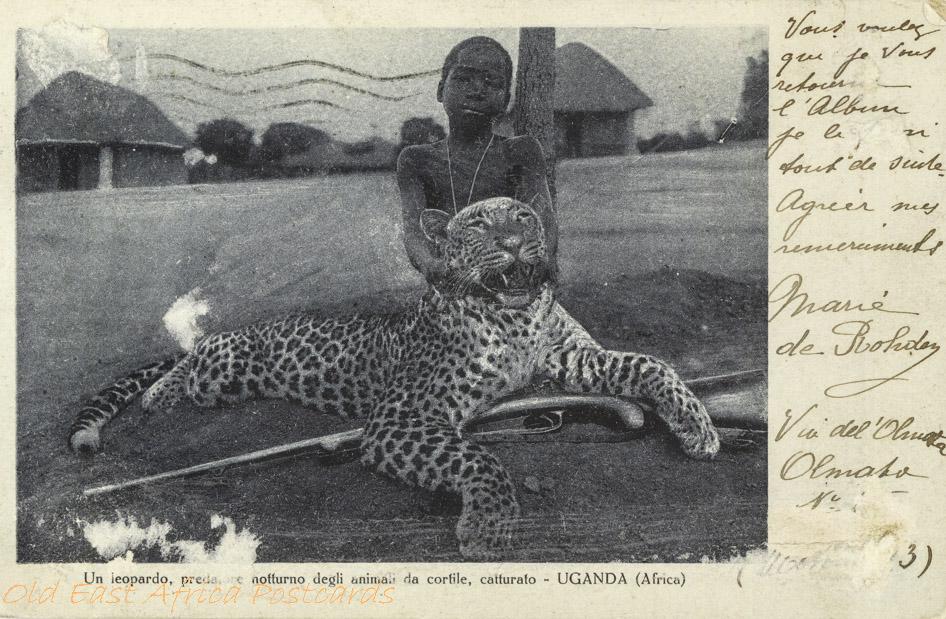 Un leopardo, predatore notturno - Uganda