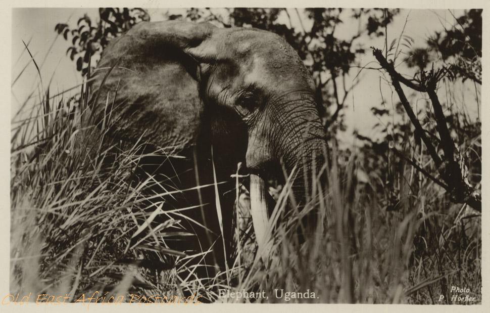 Elephant - Uganda