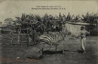 Zebra training in a farm