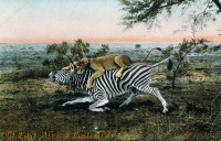 Zebra in den Krallen einer Löwin