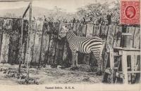 Tamed Zebra. B.E.A.