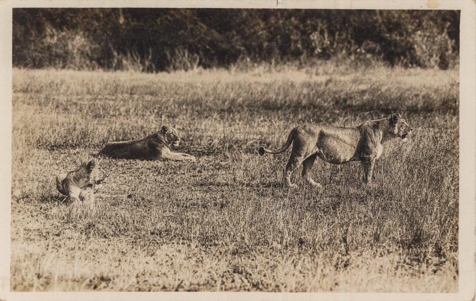 nil (Lionesses)