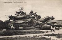 A Fallen Baobab Tree. Mombasa B.E.A.