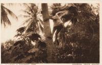 Climbing a coconut tree, Mombasa, Kenya Colony