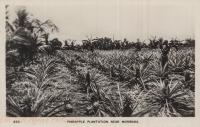 Pineapple Plantation near Mombasa