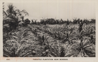 Pineapple Plantation near Mombasa