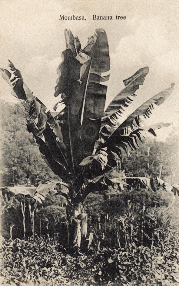 Mombasa. Banana Tree