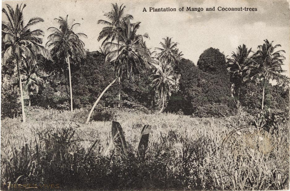 A Plantation of Mango and Coconut-trees