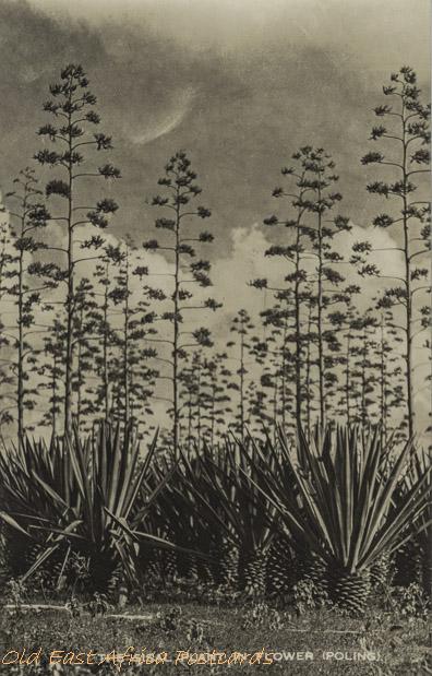 The sisal plant in flower (poling)