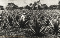 A Sisal plantation