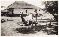 The camels, Mombasa