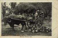 Zanzibar, Buffalo Cart
