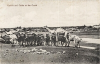 Camels and Cattle at the Creek