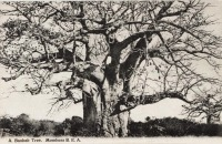A Baobab Tree. Mombasa B.E.A.