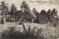 A Plantation of Mango and Coconut-trees