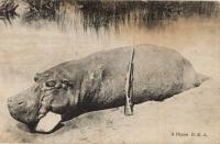 A Hippo B.E.A.