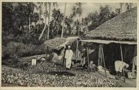 Drying copra, Zanzibar -
