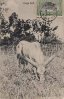 Ugoga Bull