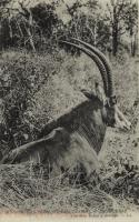 Une belle espèce d'Antilope.