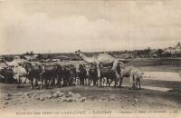 Zanzibar - Chameaux et boeufs à l abreuvoir