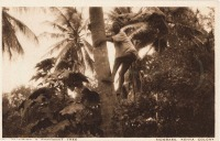 Climbing a coconut tree, Mombasa, Kenya Colony