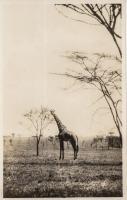 nil (Giraffe)