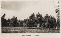 Clove plantation. Zanzibar