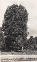 Zanzibar. A clove tree