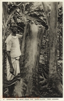 "Stripping the Bark from the ""bark cloth"" Tree. Uganda"