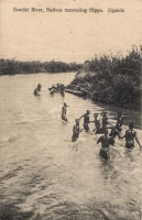 Semliki River, Natives recovering Hippo. Uganda