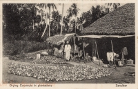 Drying Coconuts in Plantations
