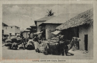 Loading camel with Copra, Zanzibar