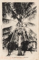 A Cocoa nut tree - Zanzibar