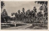 Cocoanuts Trees, Zanzibar