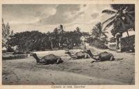 Camels at rest, Zanzibar
