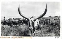 Ankole Long-Horn Cattle, Uganda