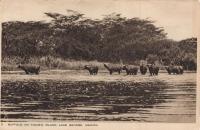Buffalo on Kigubio Island. Lake George. Uganda