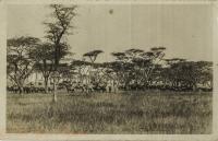 nil (herd of gnus)