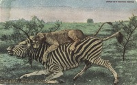 19. Lioness kills Zebra