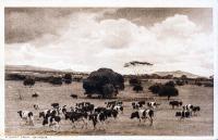 A Dairy Farm, Naivasha