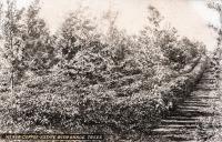 Kenya - Coffee estate with shade trees