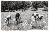 Kenya Highlands - Gathering pyrethru