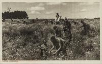 Picking Pyrethrum