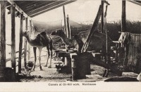 Camel at oil-Mill work. Mombasa